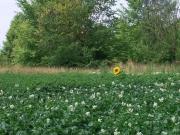 eine-Sonnenblume-Kopie